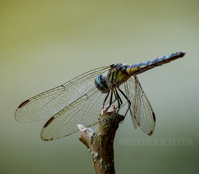 susquehanna - dragon fly (p,b).jpg