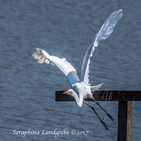 _DSC9268Great Egret.jpg