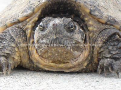 018-turtle-madison_co-09jun08-0207