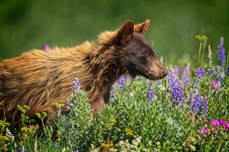 Bear Cub In Meadow Of  Wildflowers Series-  5 of 5