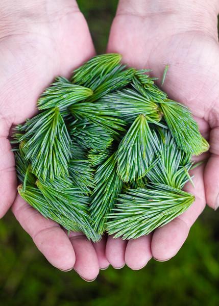 spruce tips a.jpg