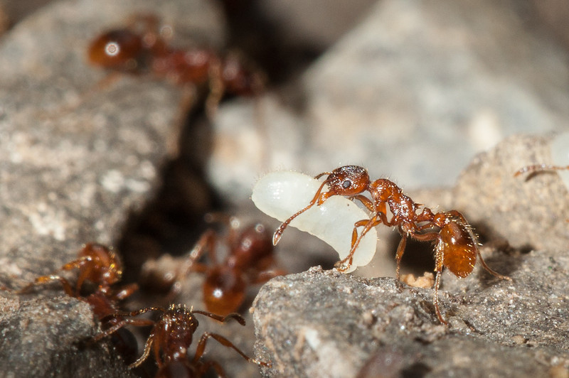 European fire ant (myrmica rubra) transporting larvae and pupae from an uncovered nest.