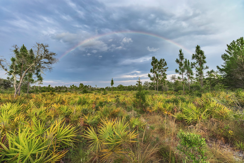 Rainbow over pine flatwoods-hammock ecotone