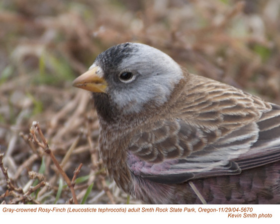 Gray-crowned Rosy-Finch A5670.jpg