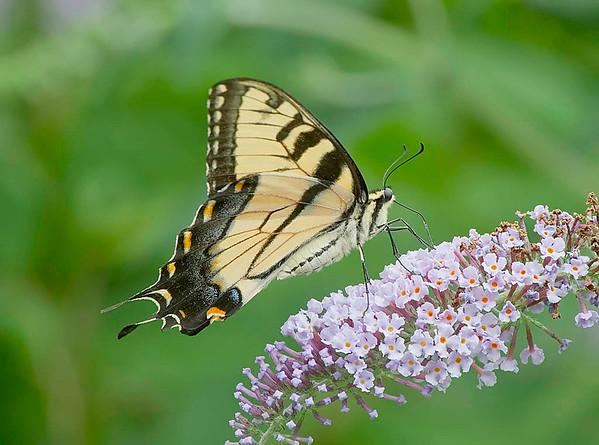butterflies-wild