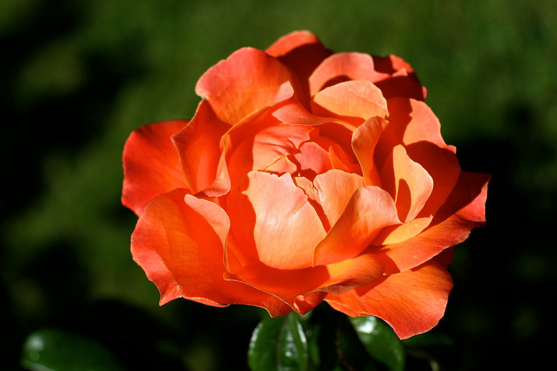Portland International Rose Test Garden  2216.jpg