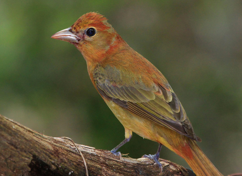 dry female Scarlet Tanager.