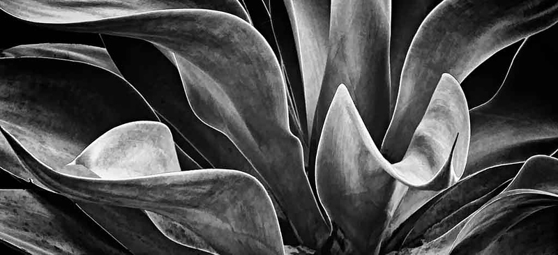 BW 2019 agave-Recovered.jpg