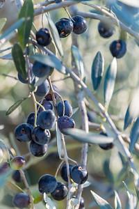 San Gimignano Olives