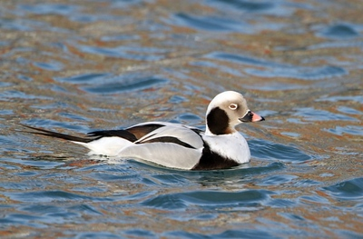 Long-tailed Duck - Poland