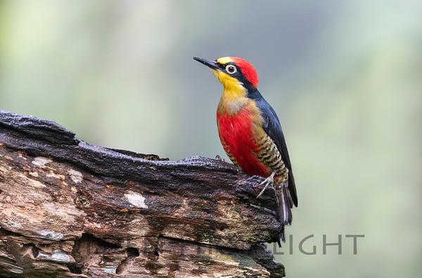 Woodpeckers Flickers, & Woodcreepers