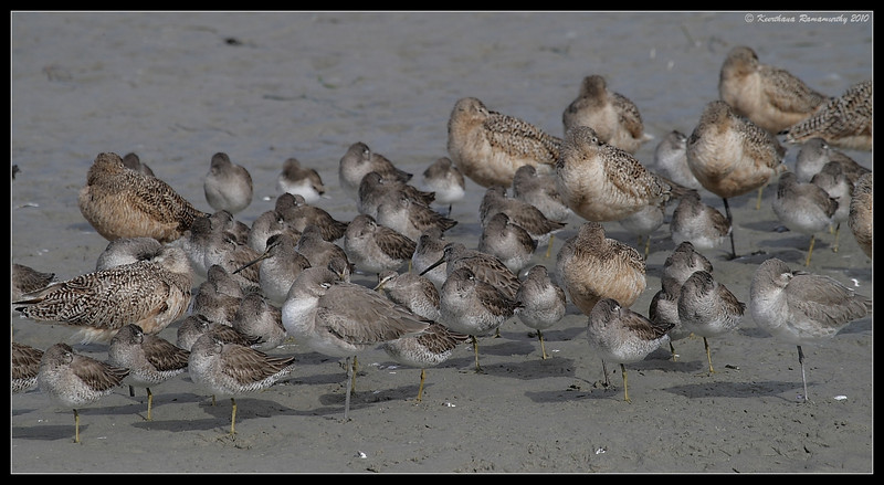 mixed flock of Marbled Godwits, Willets, Short-billed dowitchers, Robb Field, San Diego River, San Diego County, California, January 2010