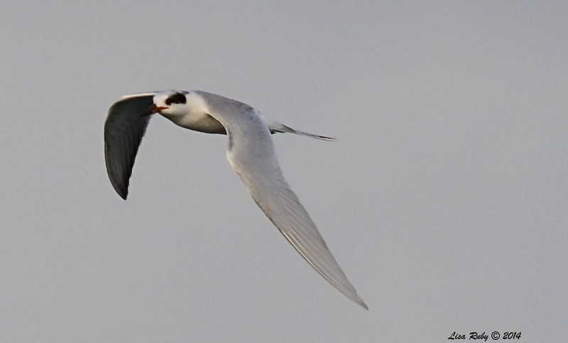 Another fuzzy Forster's Tern shot - 3/2/14 - Birding 100 San Diego Bird Festival