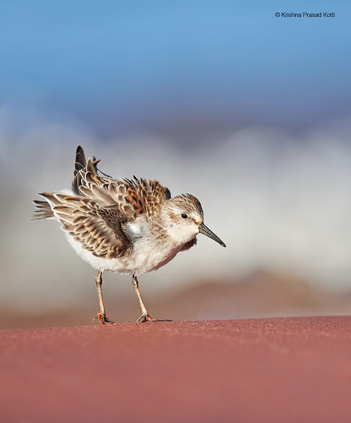 """Western Sandpiper """"ruffled"""" feathers"""
