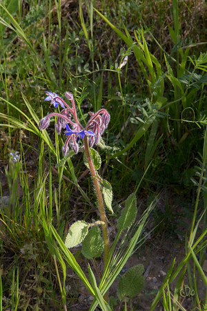 Bourraches (Borago)