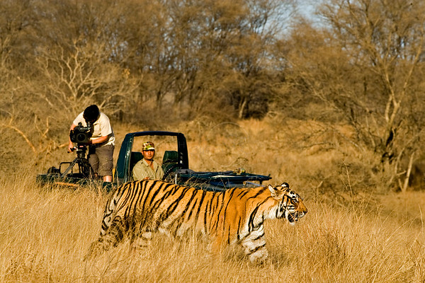tiger documentary filming