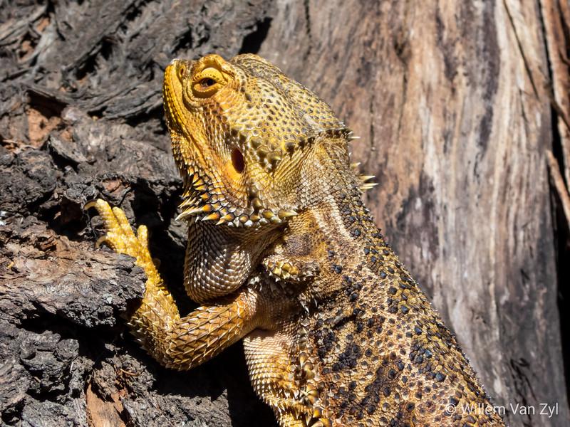 20200229 Bearded Dragon (Pogona sp.)