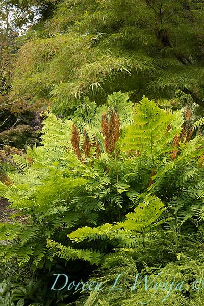 Osmunda regalis in a garden setting_6882.jpg