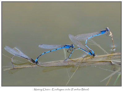 Damselfly Series