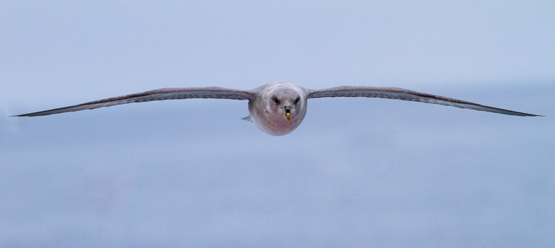 Focused, Fulmar