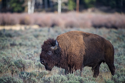 Wyoming Bison Photography