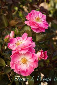 Jackson Perkins Roses Wasco Ca