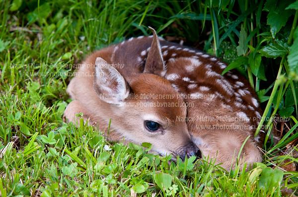 Deer Fawn June 2013