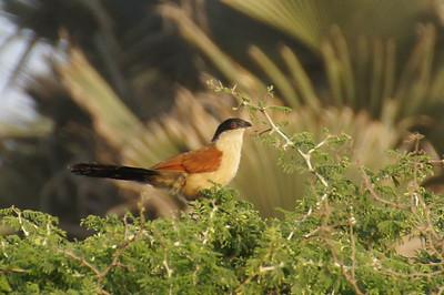 Gambia birds, Jan 2013