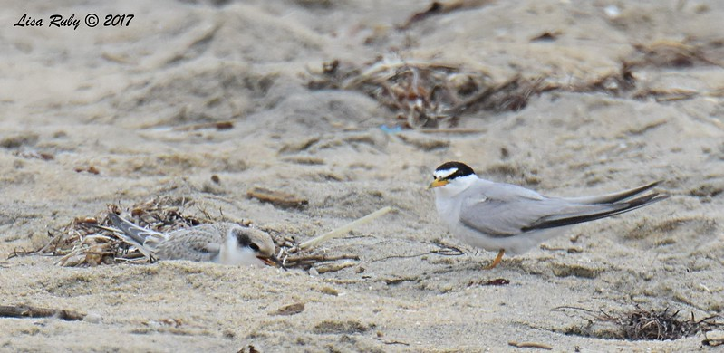Least Terns adult and juvenile - 8/27/2017 - Imperial Beach, walk to river mouth
