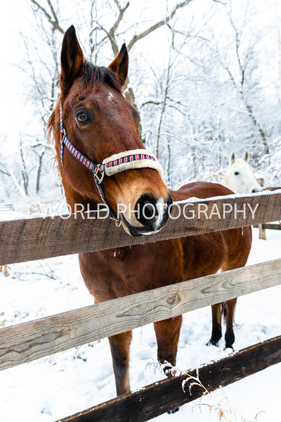 202101032021_1_3 Neighborhood_Horses_Snow_Barn_Trail041--7.jpg