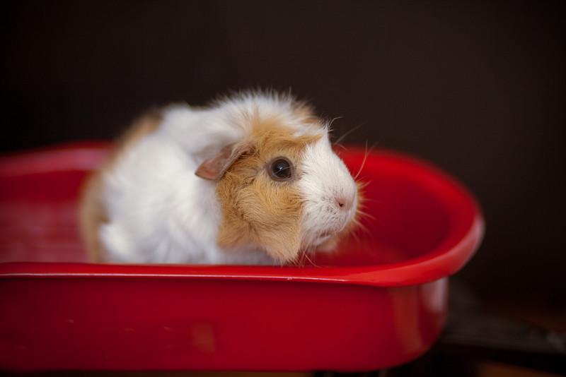 Ginea Pigs-19.jpg
