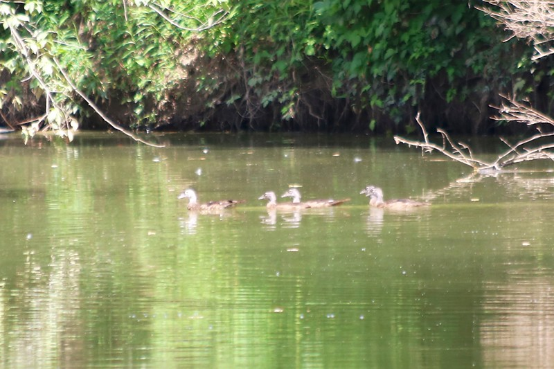 Wood Ducks @ Simpson Lake CP