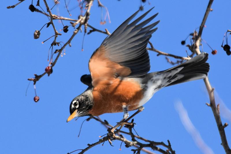 #1256  American Robin landing
