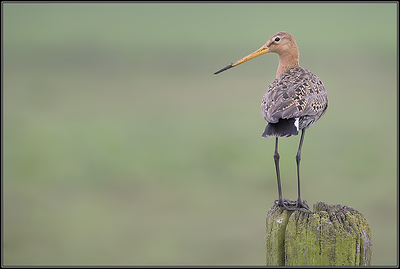 Grutto/black tailed godwit