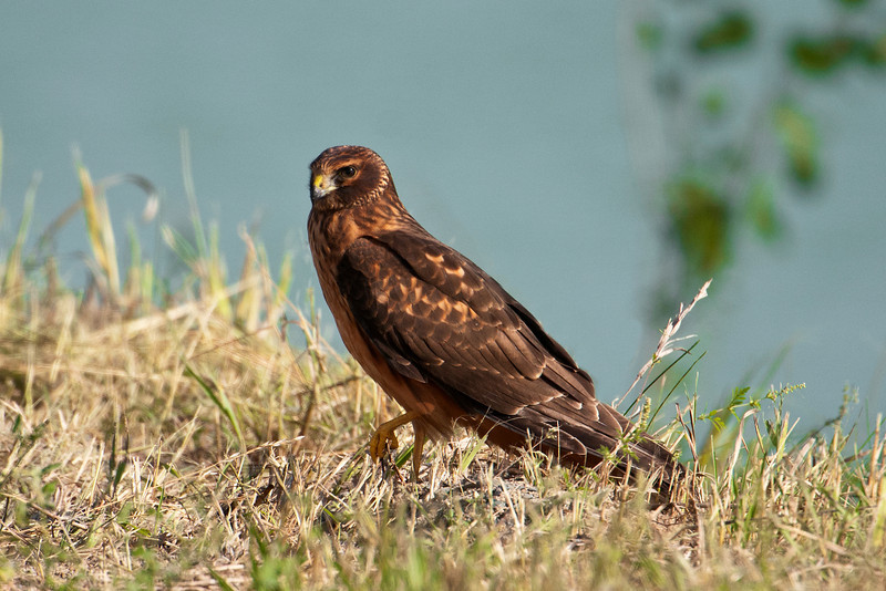 Harrier - Northern - Cohasset, MN