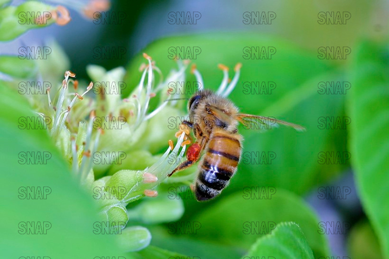 Honey Bees, Honeybees or European Honey Bee (Apis mellifera).