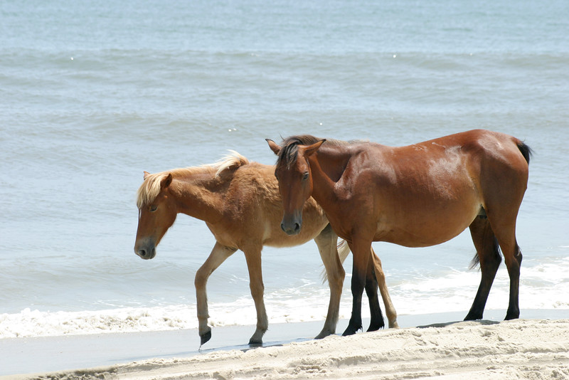 Wild horses on the beach