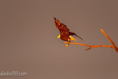 9/5 bald eagle