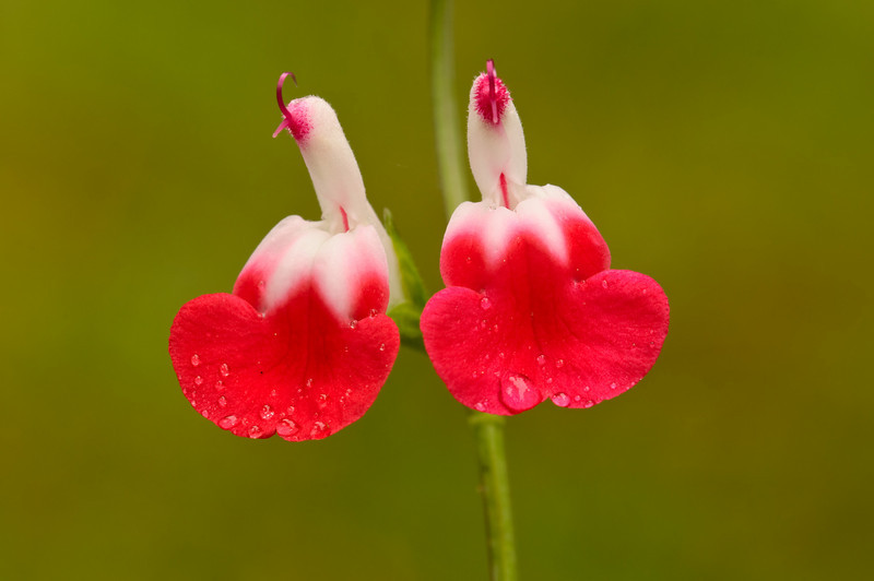 "Salvia ""Hot Lips"""