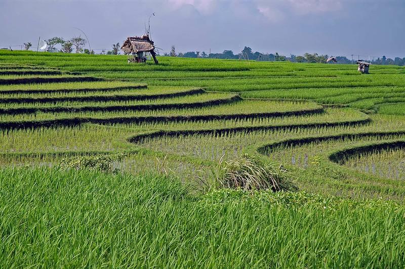 Rice Paddies-1.jpg