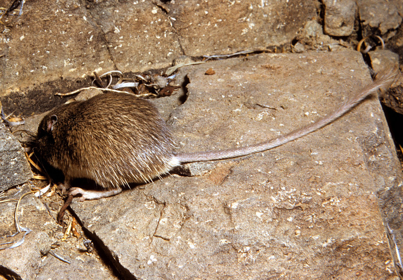 Nelson's Pocket Mouse (Chaetodipus nelsoni) showing rump spines