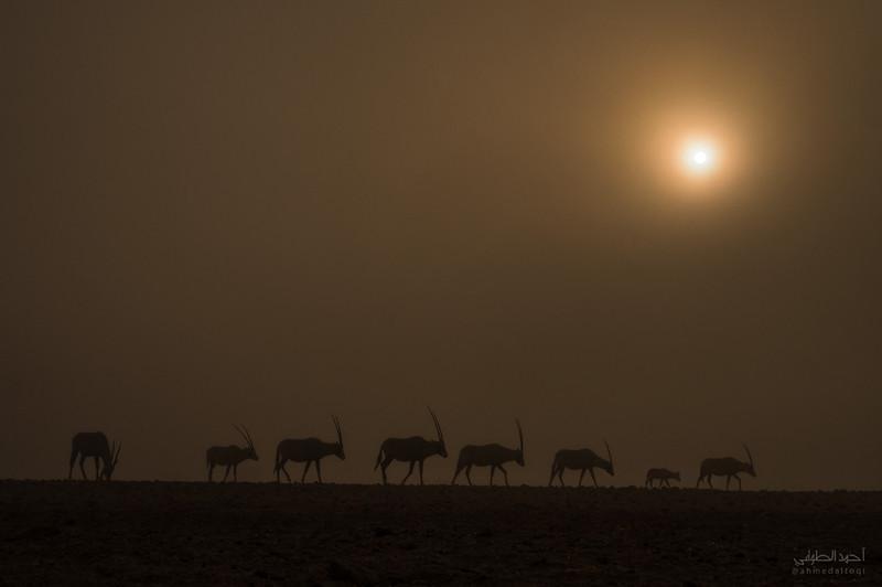 Arabian Oryx (30).jpg