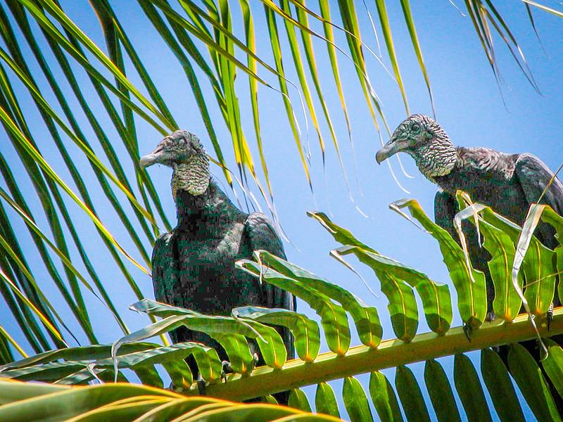 356 Vultures.jpg