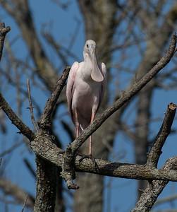 Herons, Bitterns, Sandhill Cranes, Roseate Spoonbill, and Egrets