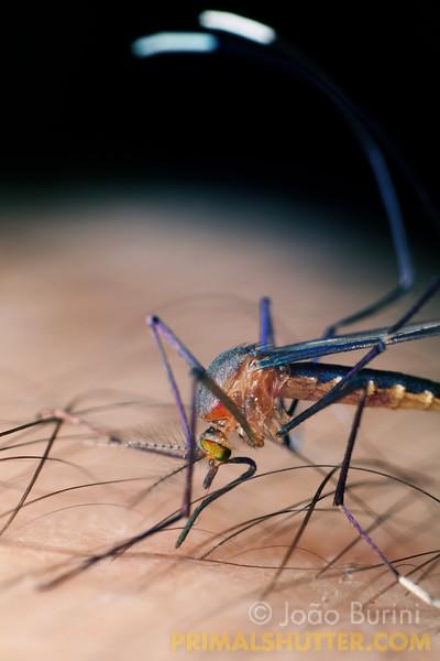 Blue mosquito biting human skin