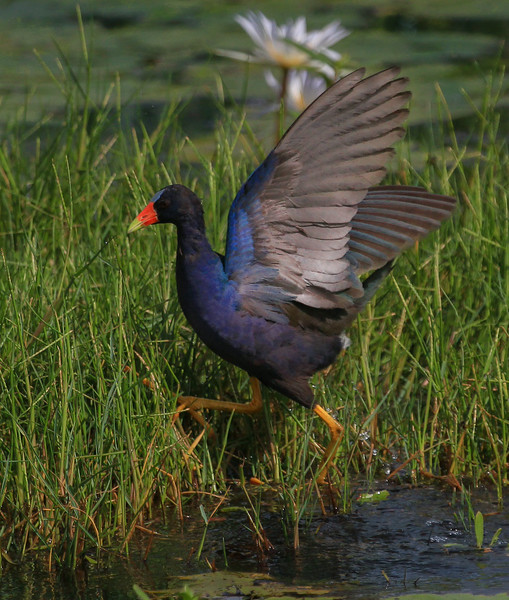 zzAnahuac 8-31-14 268A, Purple Gallinule wings up SMALL.jpg