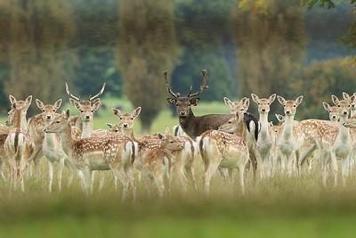 Deer at Stourton