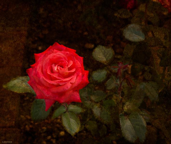 rose_9886edit.jpg