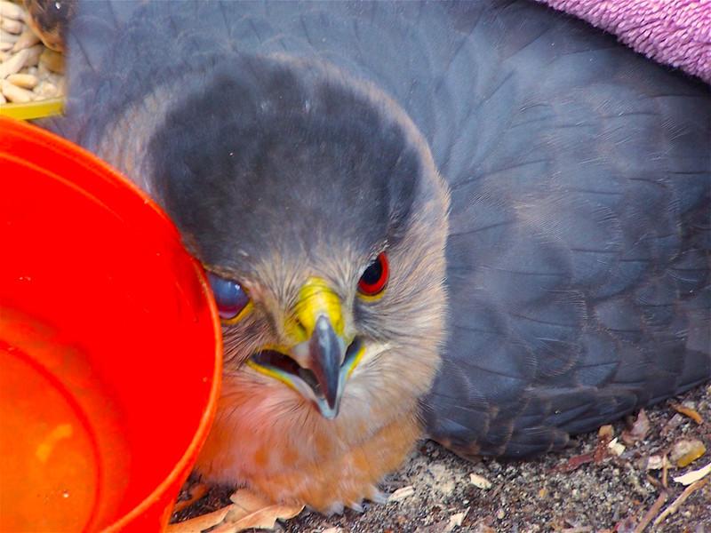 Blind eagle:300.jpg