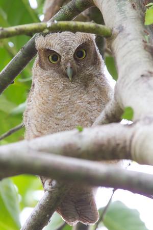 Neotropical Screech Owl
